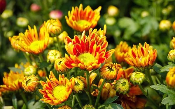 06.咲き乱れるたくさんのマリーゴールドの花の写真壁紙画像
