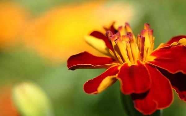08.マリーゴールドの花を美しいボケで撮影した写真壁紙画像