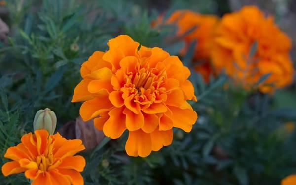 09.オレンジ色のマリーゴールドの花の可愛い写真壁紙画像