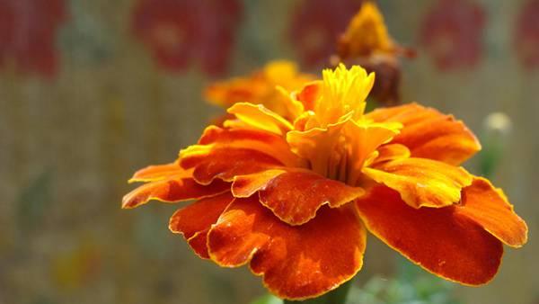 11.深いオレンジ色のマリーゴールドの写真壁紙画像