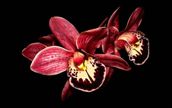 01.蘭の花を黒背景で鮮明に撮影した写真壁紙画像