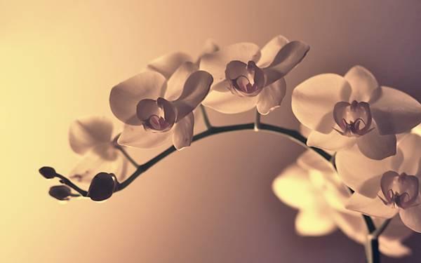 02.蘭の花をセピアの色調と柔らかいボケで撮影した綺麗な写真壁紙画像