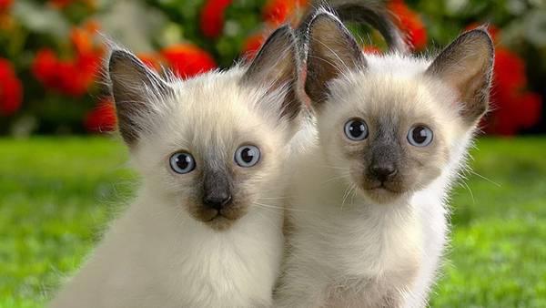 01.双子のシャム猫の子供を撮影したカワイイ写真壁紙画像