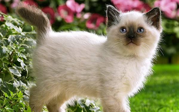 02.にっこり笑顔のシャム猫の子供を撮影した可愛い写真壁紙画像