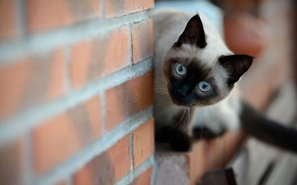 03.レンガの壁の隙間から顔をのぞかせるシャム猫の綺麗な写真壁紙画像