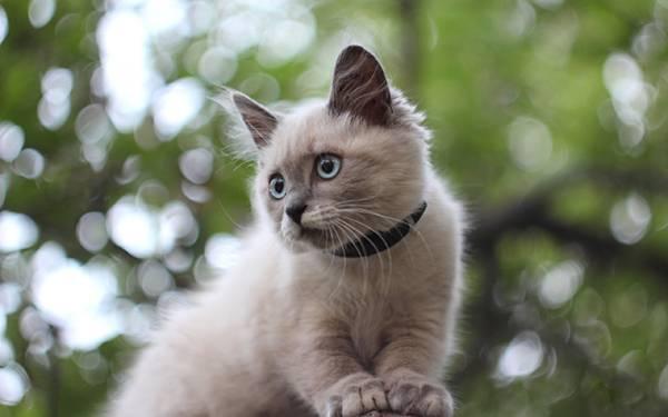 04.木の上のシャム猫を綺麗なボケで撮影した写真壁紙画像