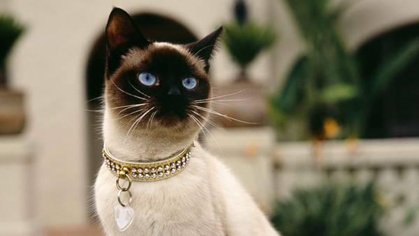 05.ゴージャスな首輪をした高級感のあるシャム猫の写真壁紙