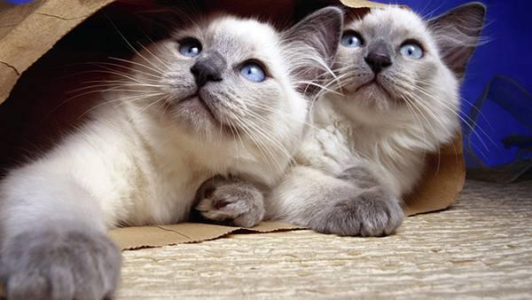 06.紙袋の中のシャム猫の双子を撮影した可愛い写真壁紙画像