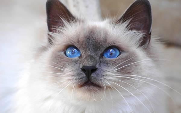 07.美しいブルーの瞳のシャム猫をアップで撮影した写真壁紙画像