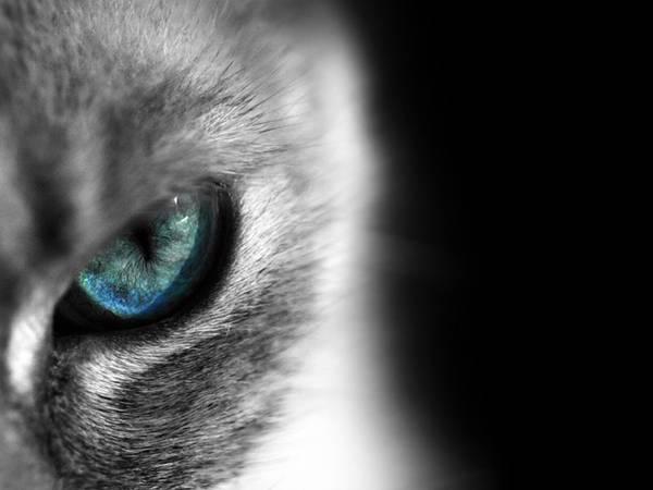 08.シャム猫の鋭い瞳をアップで撮影したカッコイイ写真壁紙画像