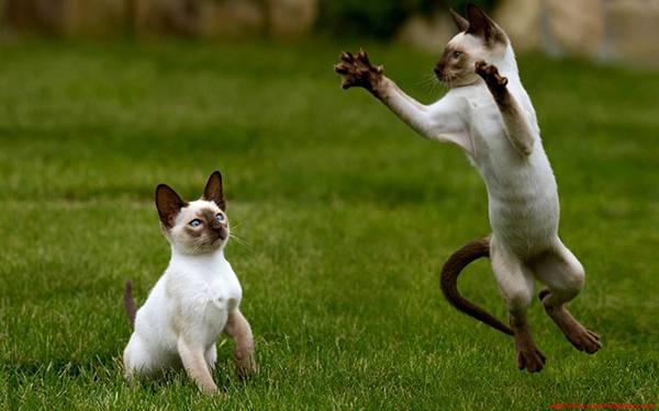 09.元気良く遊ぶシャム猫の兄弟を撮影した可愛い写真壁紙画像
