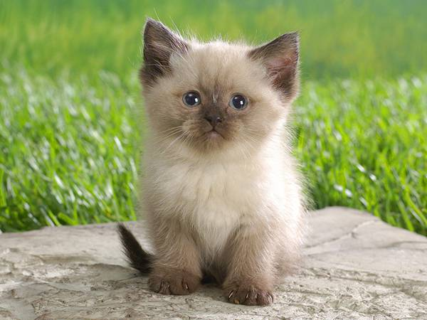 10.シャム猫の赤ちゃんをアップで撮影した可愛い写真壁紙画像
