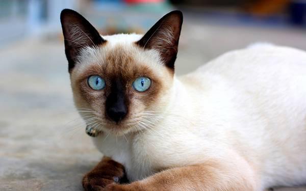 11.びっくりした表情でカメラ目線のシャム猫の写真壁紙画像