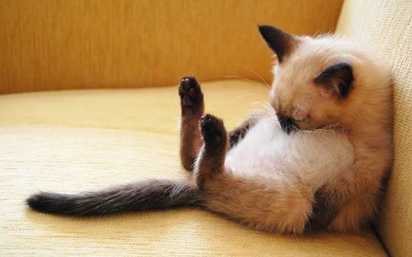 12.ソファーに座って眠るシャム猫の可愛い写真壁紙画像