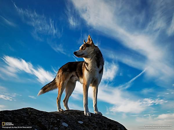 02.崖の上に佇むシベリアンハスキー犬のカッコイイ写真壁紙画像