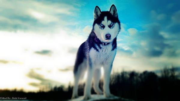 03.青空と鋭い瞳のシベリアンハスキーの綺麗な写真壁紙画像