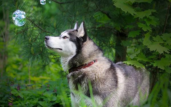 04.シャボン玉を見つめるハスキー犬を撮影した綺麗な写真壁紙画像