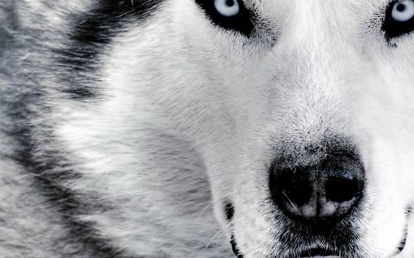 06.シベリアンハスキー犬の顔をアップで撮影したカッコイイ写真壁紙