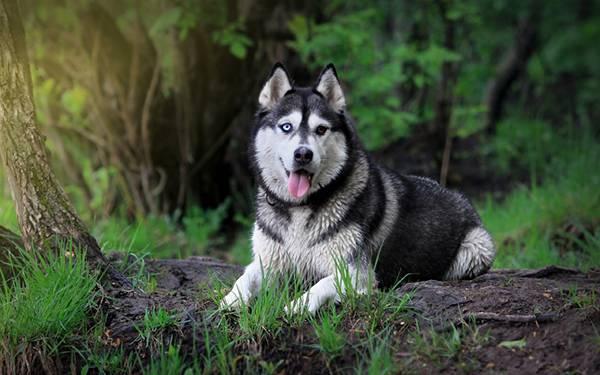 08.オッドアイなシベリアンハスキー犬の綺麗な写真壁紙画像