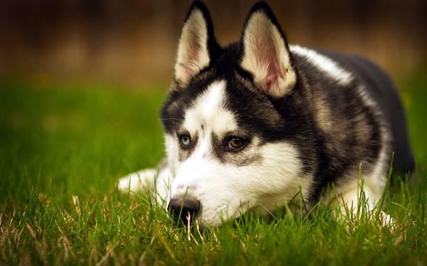 09.草の上に伏せるシベリアンハスキー犬の写真壁紙画像