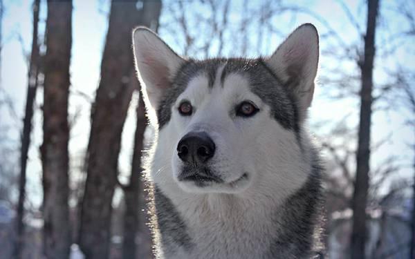 10.きょとんとした表情のシベリアンハスキーの写真壁紙画像