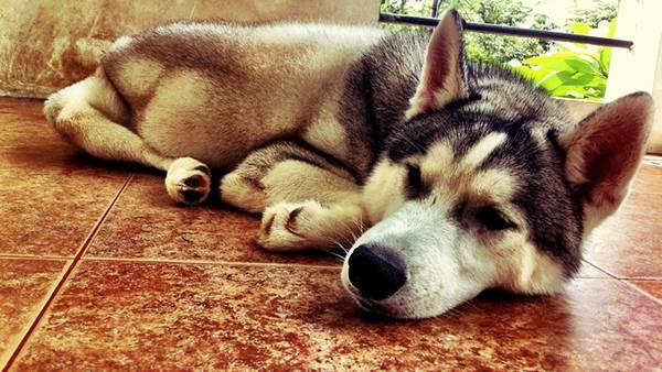 11.ゆかに伏せて眠るハスキー犬の可愛い写真壁紙画像
