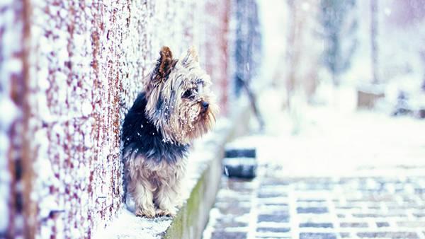 02.雪の中のヨークシャテリアのオシャレな写真壁紙画像