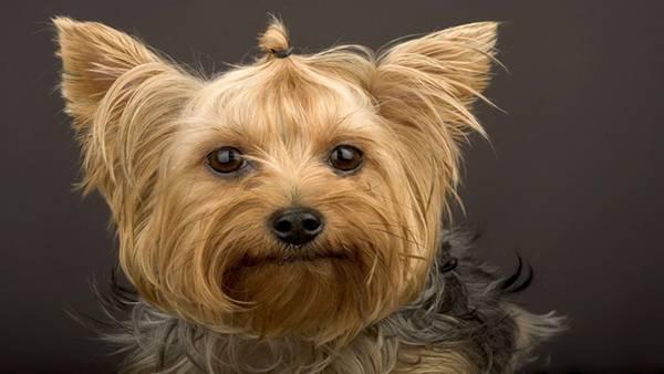 06.毛をゴムで結んだヨークシャーテリアの可愛い写真壁紙画像