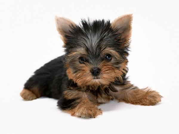 12.ヨークシャテリアの子犬の可愛い写真壁紙画像