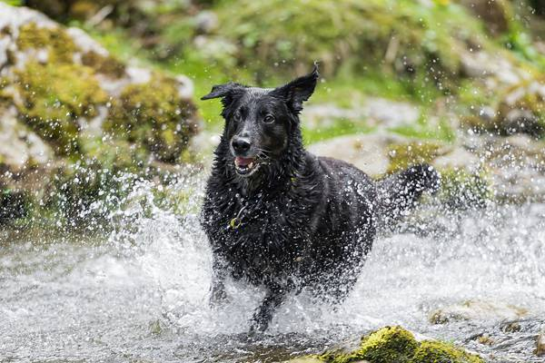 Black dog running in the river II