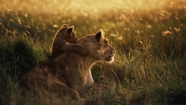 02.夕日を見つめるライオンの親子の綺麗な写真壁紙画像