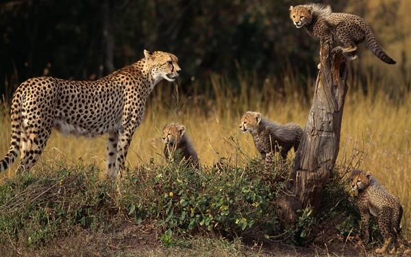 04.豹のお母さんと子供達の家族の可愛い写真壁紙画像