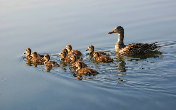 07.水面に波紋を立てて泳ぐカルガモの家族の綺麗な写真壁紙画像