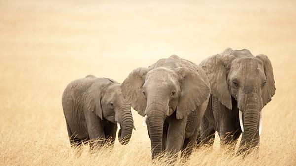 08.三匹の象の親子を撮影した綺麗な写真壁紙画像