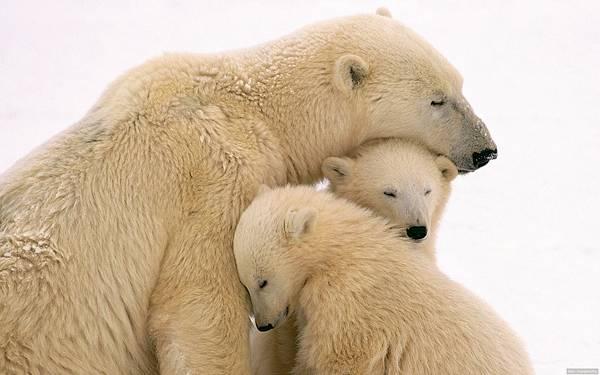 09.体を寄せ合うシロクマの親子の可愛い写真壁紙画像