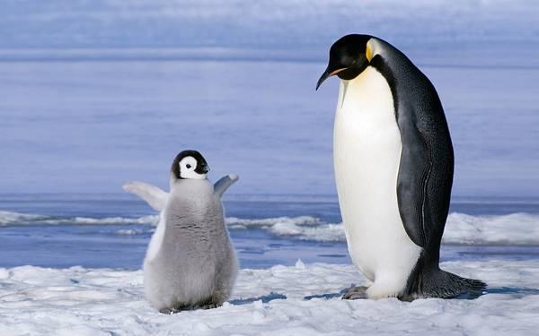 10.羽をパタパタさせるペンギンの赤ちゃんと見つめる親の写真壁紙画像