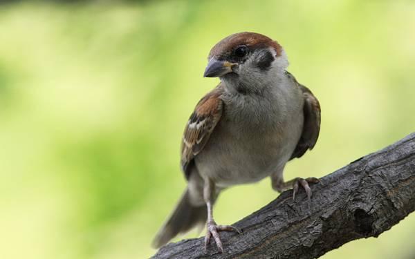 02.枝に止まって首を傾げたポーズの雀の可愛い写真壁紙画像