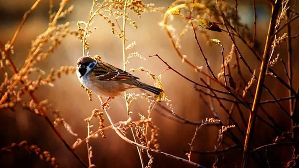 03.細い枝に止まったスズメを撮影した綺麗な写真壁紙画像