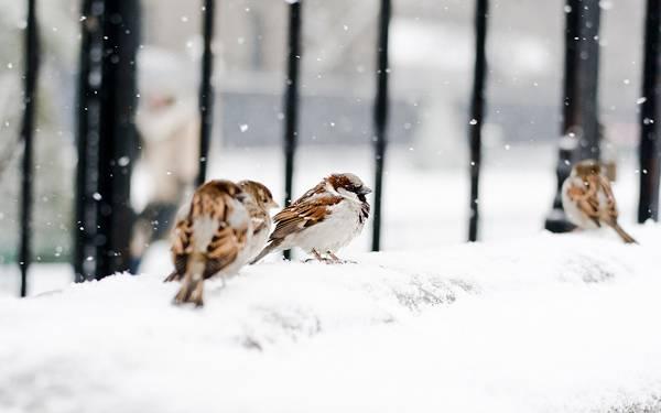 06.雪の中のスズメ達を撮影した美しい写真壁紙画像