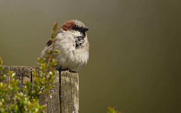 07.木の柵の上に止まった丸っこい雀の可愛い写真壁紙画像