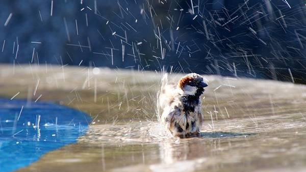 10.水浴びをする雀の可愛い写真壁紙画像