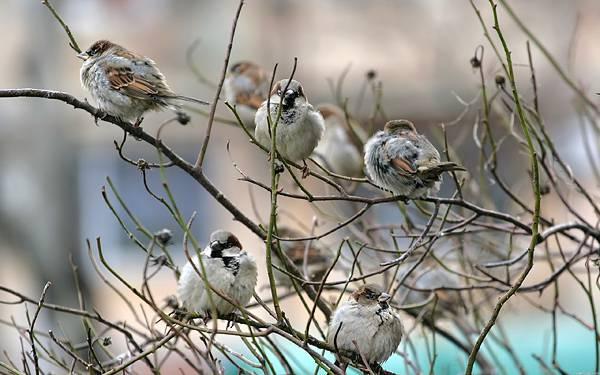 11.細い枝に止まるたくさんの雀達の綺麗な写真壁紙画像