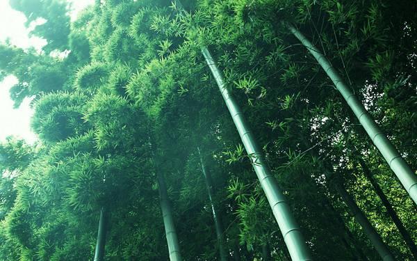 01.青々とした竹林をアオリで撮影した綺麗な写真壁紙画像