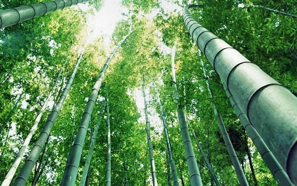 05.光の降り注ぐ竹林をアオリで撮影した写真壁紙画像