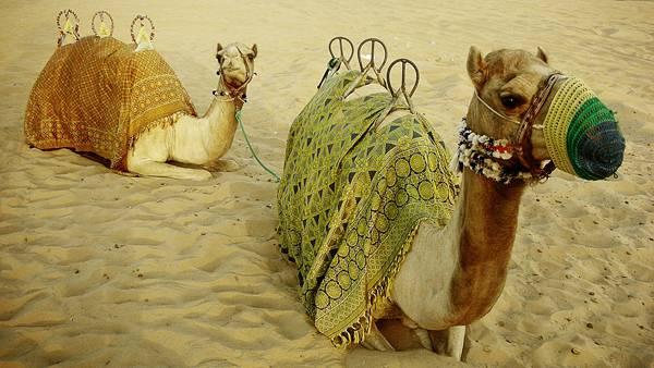 09.装飾をして砂漠に座る二匹のラクダを撮影した写真壁紙画像