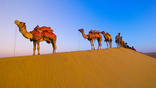11.綺麗な青空の下の砂漠を行くラクダたちの美しい写真壁紙画像