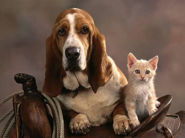 02.バセットハウンドと子猫のおしゃれな写真壁紙画像