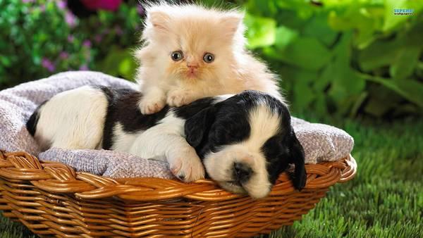 09.カゴの中で眠る子犬とその背中に乗った子猫の写真壁紙画像