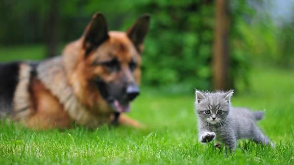 11.草の上を歩く子猫とそれを見つめる犬の綺麗な写真壁紙画像