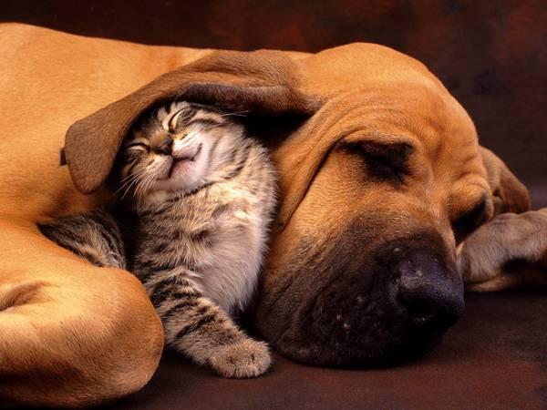 12.眠る犬とその耳の下で遊んで笑顔の猫の可愛い写真壁紙画像
